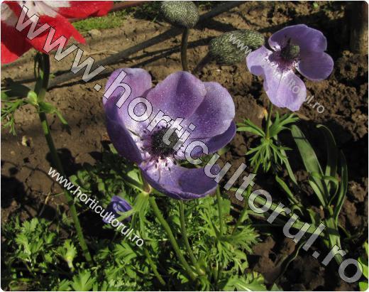 Anemone- Floarea Pastelui_6