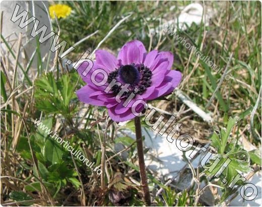 Anemone- Floarea Pastelui_7