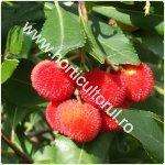 Arbust de fragute-Arbutus unedo