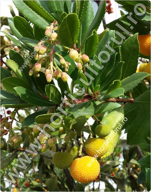 Arbust de fragute (Arbutus unedo)
