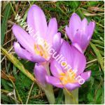 Branduse-Colchicum