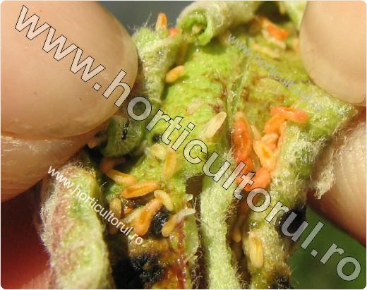 Musculita rasucirii frunzelor de mar (Dasineura mali)