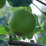 Fertilizarea_Marului_Green