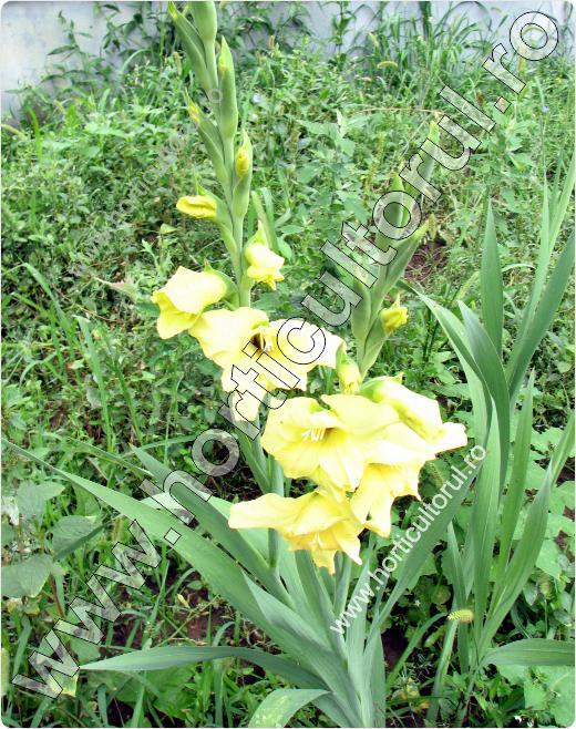 Gladiola (Gladiolus spp.)