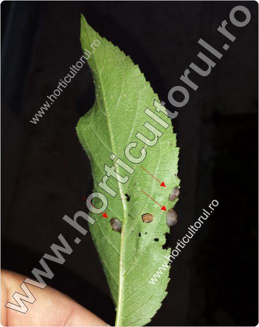 Limaxul cenusiu (Deroceras agreste)