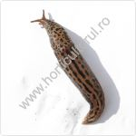 Limaxul mare-Limax maximus