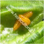 Musculita frunzelor-Dasineura prunicola