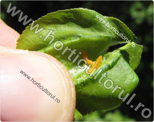 Musculita frunzelor de prun japonez-Dasineura prunicola