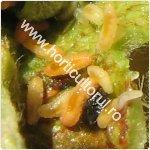 Musculita rasucirii frunzelor de mar-Dasineura mali