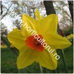 Narcisele-150