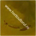 Tripsul californian-Frankliniella occidentalis