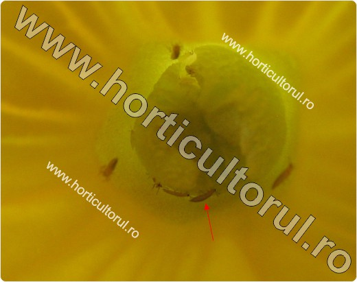 Tripsul californian (Frankliniella occidentalis)