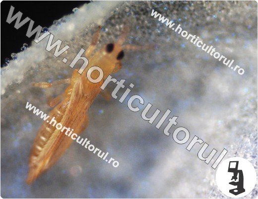 Tripsul californian-Frankliniella occidentalis_3