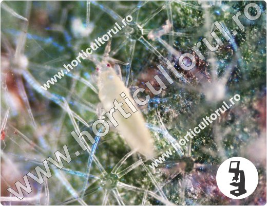 Tripsul californian-Frankliniella occidentalis_La vinete
