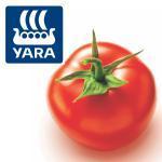 Fertilizarea tomatelor pentru industrializare