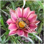 Gazania-Floarea comoara