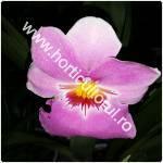 Miltonia -Orhidea Panseluta