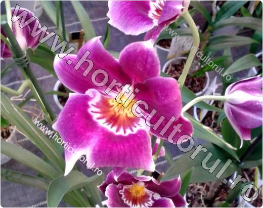 Fig. 5 Orhidea Panseluta (Miltonia spp.)