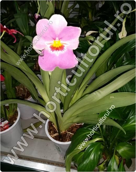 Orhidea Panseluta (Miltonia spp.)