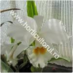 Cattleya-Regina Orhideelor_1
