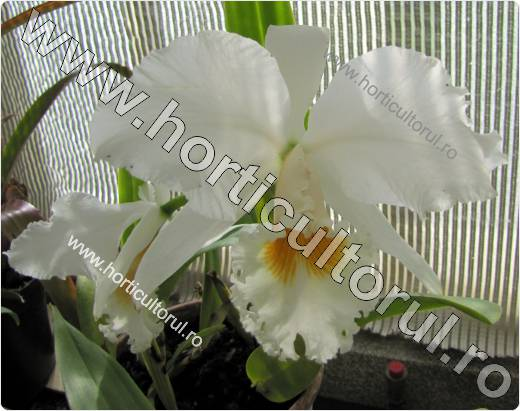 Cattleya gaskelliana alba