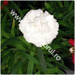 Garoafa-Dianthus-garofite