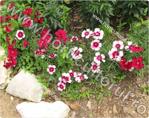 Garoafa - Dianthus