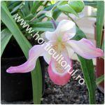 Orhidee-Phragmipedium