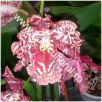 orhideea cambria
