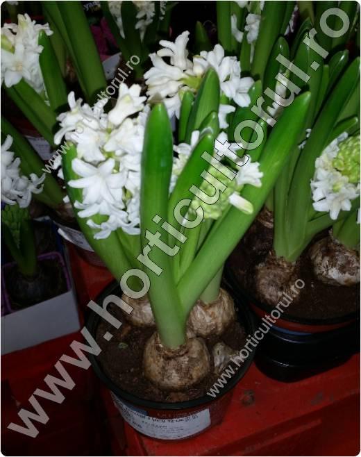 zambila-Hyacinthus orientalis-fertilizare