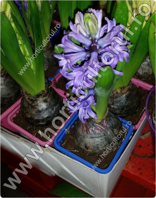 zambila-Hyacinthus orientalis_2
