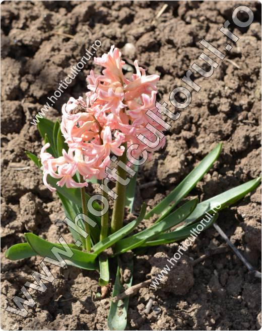 zambile-Hyacinthus orientalis