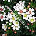 Chamelaucium uncinatum-Floarea de ceara Geraldton