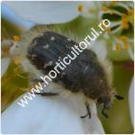 Gandacul paros-Epicometis hirta