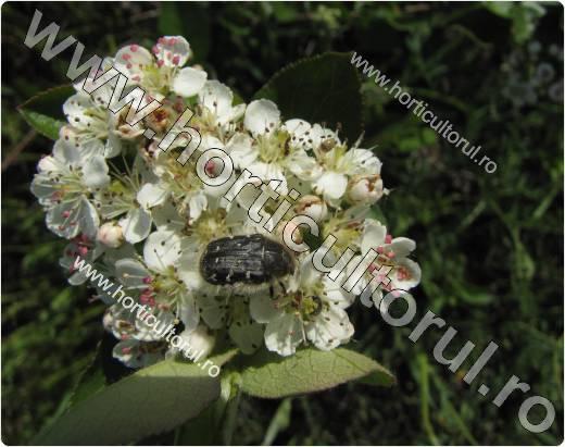 Gandacul paros-Epicometis hirta-aronia