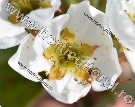 Gandacul paros-Epicometis hirta-floare de par
