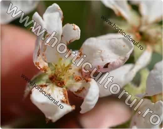 Gandacul paros-Epicometis hirta -floare mar