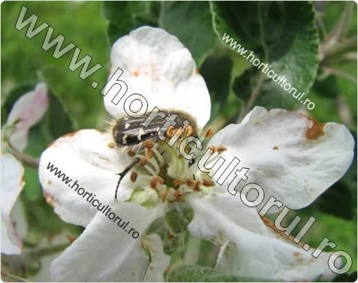 Gandacul paros-Epicometis hirta-mar