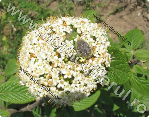 Gandacul paros-Epicometis hirta -viburnum