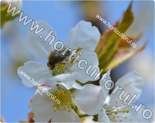Gandacul paros-Epicometis hirta_floare de cires