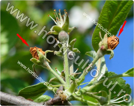 Gargarita bobocilor & florilor (Anthonomus pomorum) de mar