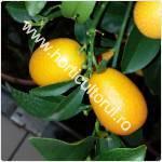 Kumquat-Citrus japonica