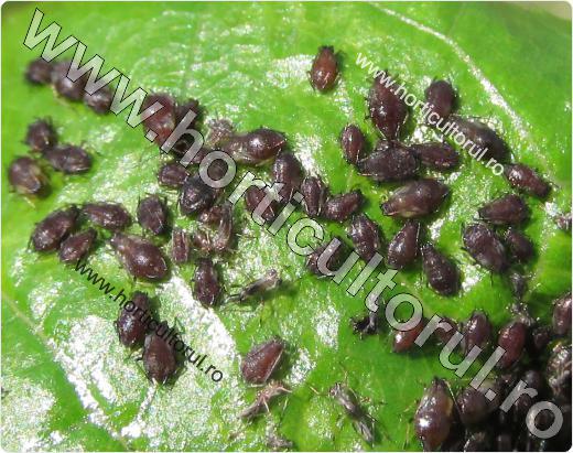 Fig. 1 Paduchele negru al ciresului (Myzus cerasi), atac pe lastari tineri