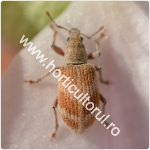 Sciaphobus squalidus-150