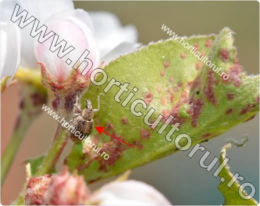 Gargarita (Sciaphobus squalidus)
