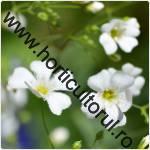 Floarea miresei-Gypsophilla
