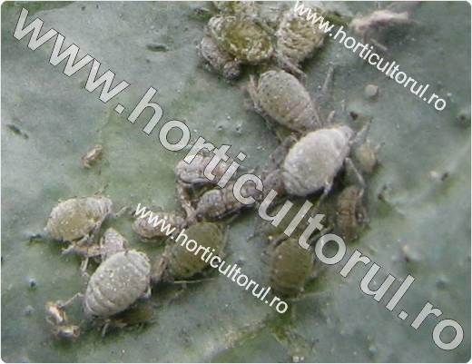 Paduchele cenusiu al verzei (Brevicoryne brassicae)