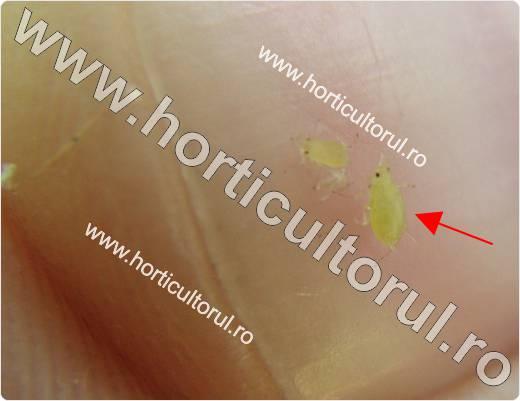 Paduchele verde al piersicului (Myzus persicae)