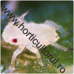 Paduchele verde al castravetilor-Aphis gossypii