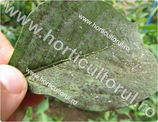 Paduchele verde al piersicului-Myzus persicae-pe ardei